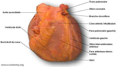 sillon interventriculaire coeur anatomie illustr 233 e