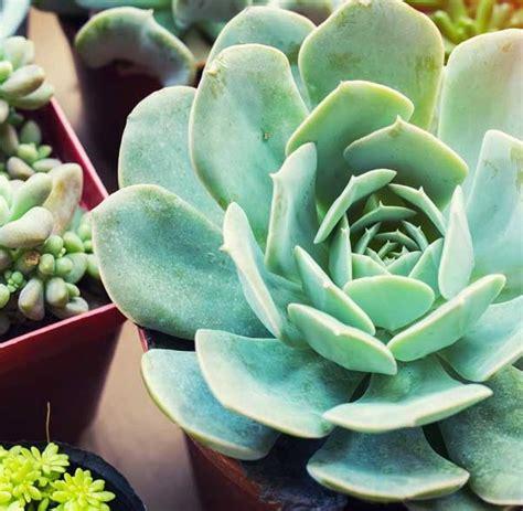 cura rosmarino in vaso rosmarino in vaso come coltivarlo sul balcone e
