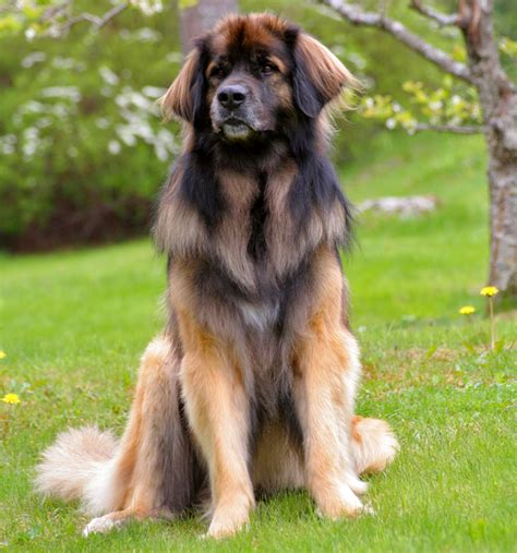 leonberger dogs gentle giants rescue and adoptions
