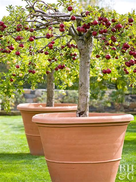 Small Fruit Trees For Pots - pot a fruit tree