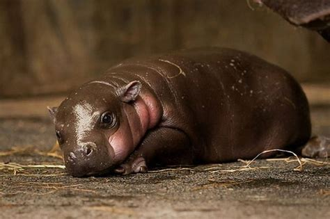 baby pygmy hippo the jungle store baby pygmy hippo