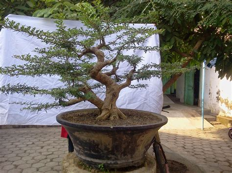 Bonsai Lada Lada 10524 Murah Bonsai Harga Pohon Bonsai