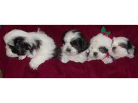 yorkies for sale in scottsville ky shih tzu puppies in kentucky