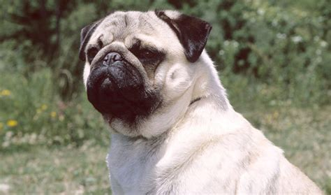 pug type dogs pug breed information