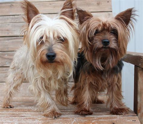 petfinder yorkie 253 best images about i yorkies on terrier puppys and