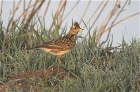 Pakan Branjangan tips merawat burung branjangan obat serangga kecoa dan semut