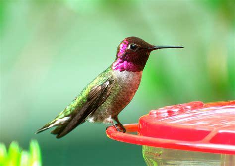 anna s hummingbird hd wallpaper for desktop