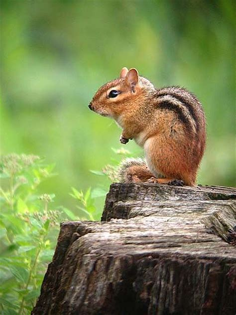17 images about chipmunks squirrels on pinterest trees