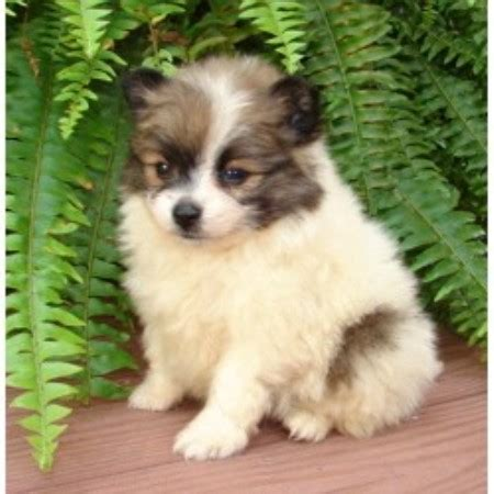 where can i find free puppies can i find pomsky puppies for sale i southern california pomsky breeds picture
