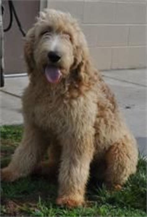 standard poodle golden retriever mix labrador doodle on doodles golden retrievers and labrador retriever
