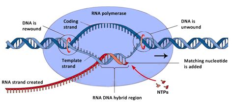 dna replication and protein synthesis mind42