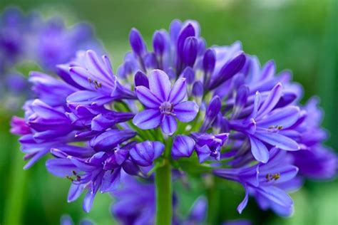 fiore agapanthus agapanto piante perenni pianta agapanthus