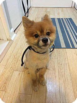 pomeranian puppies for adoption in new york new york ny pomeranian mix meet teddy a for adoption