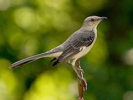 northern mockingbird identification all about birds