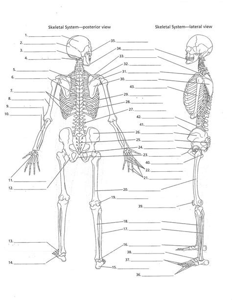 Skeletal Tissue Worksheet by Anatomy Labeling Worksheets Search I