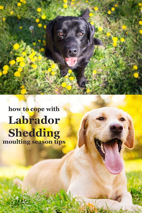 Labradors Shedding by Labrador Shedding It S The Moulting Season Again