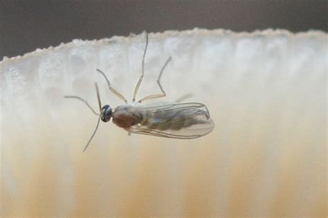 gnat infestation in bathroom guide to common filth flies pest control and bug