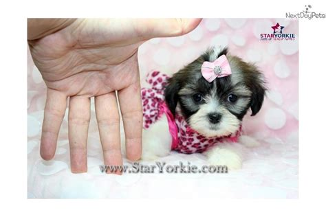 mal shi puppies for sale mal shi malshi puppy for sale near los angeles california 1188acd4 1f91