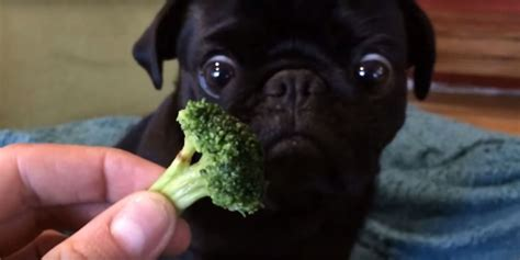 how much are pugs in canada toby the pug broccoli huffpost uk