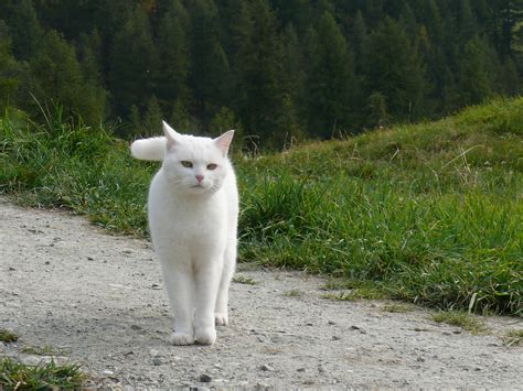 white cat beautiful white cat walking in the wallpapers and