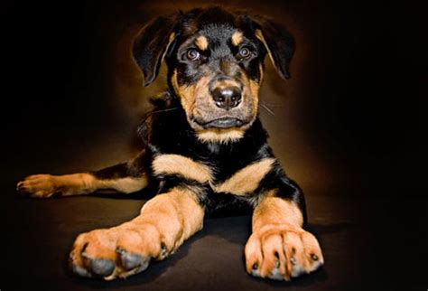 rottweiler health problems common health problems for popular breeds in pictures