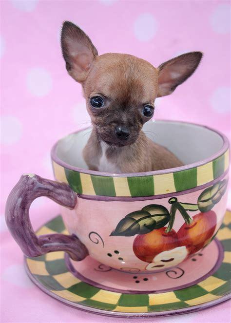 chihuahua puppies florida teacup chihuahua puppies available in south florida teacups puppies boutique