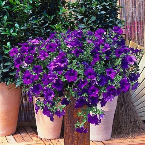 surfinie fiori la petunia surfinia piante annuali petunia surfinia