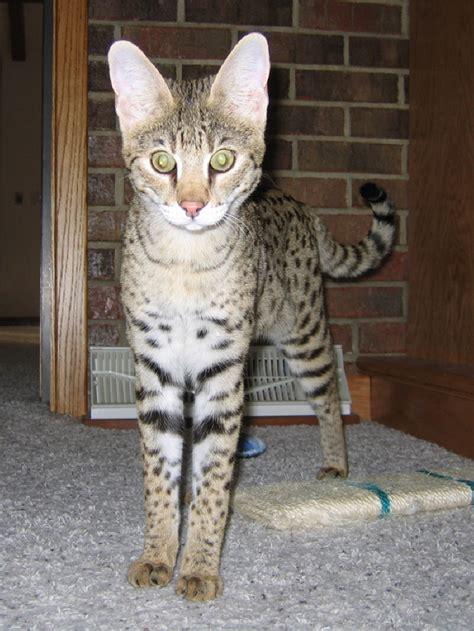 savannah kittens for sale about savannahs savannah savannah cats and savannah kittens savannah cat breeder