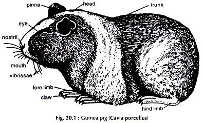 guinea pig diagram dissection of guinea pig with diagram zoology
