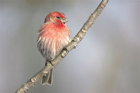 ohio bird photo collection house finch profile