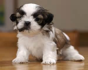 cutest shih tzu puppy shih tzu dogs picture