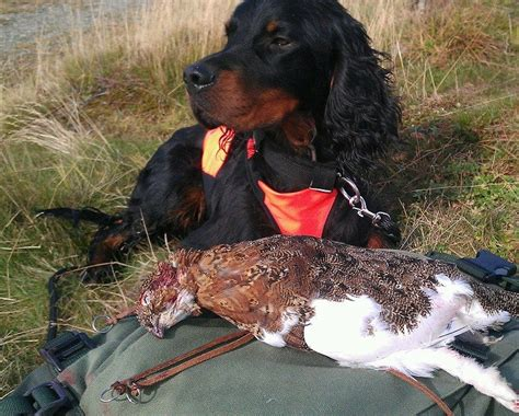 Gordon Setter Gun Dogs For Sale | know gordon setter puppies for sale gordon setter hunting