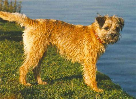 File Ee  Border Ee    Ee  Terrier Ee   Jpg Wikimedia Commons