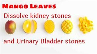 mango leaves dissolve kidney stones and urinary bladder