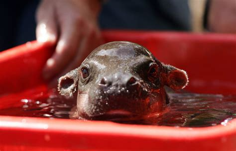 Hippo In Bathtub by Baby Pygmy Hippo And Extremely Pix O Plenty