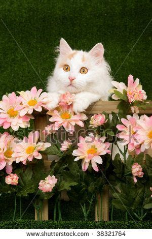 Jaket Vans Turkis Pink 17 best images about the turkish cat on lakes piano and swimming