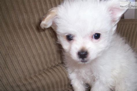 chipoo puppy chi poo chipoo puppy for sale near jackson mississippi 0c301d61 e4e1