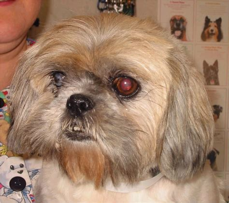 shih tzu illinois pin shih tzu rescue illinois puppies for sale on