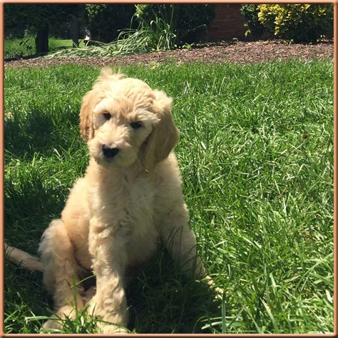 mini goldendoodles for sale in nc goldendoodles the best f1b goldendoodles in