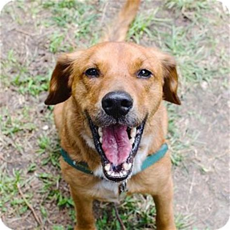 beagle and golden retriever brownie adopted 3480 houston tx beagle golden retriever mix