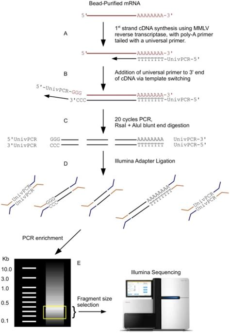 transcriptase template switching schematic of cdna library preparation polya selected mr