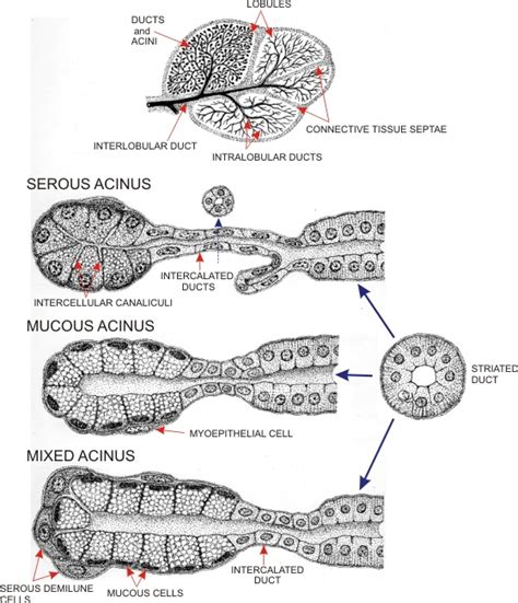 diagram of salivary glands diagram of the parotid gland sh3 me