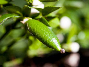 australian finger lime planting pruning  advice
