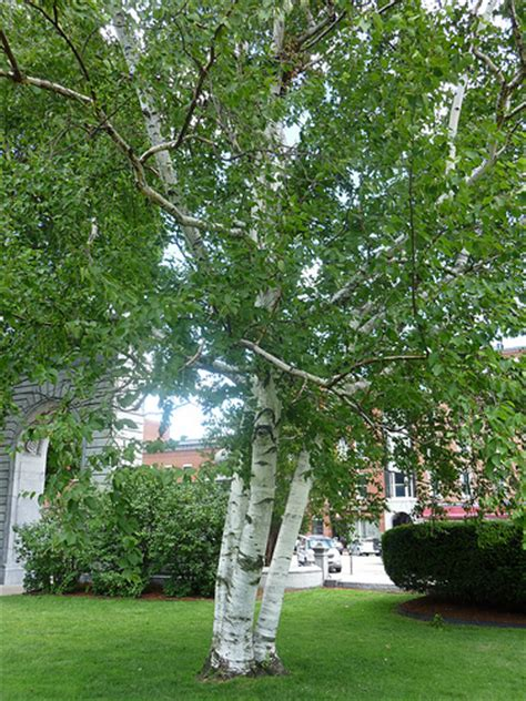 common front yard trees paper white birch tree on the nh state house lawn flickr