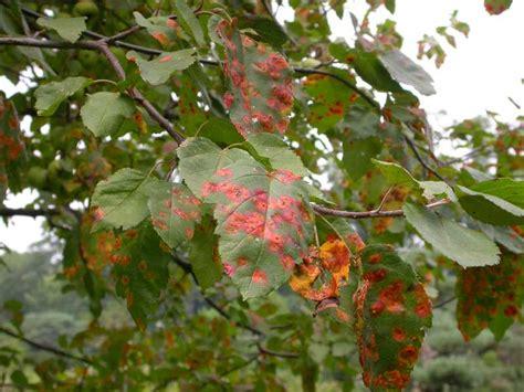 fruit tree spots trooperqauw bright orange spots on apple tree leaves