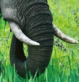 Kiloan Warna Gading gading gajah abu umamah