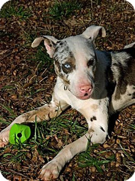 australian shepherd pitbull mix puppies river adopted adopted greensboro ga australian shepherd american pit bull