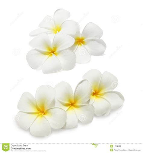 tropical flowers frangipani stock images image 17372484