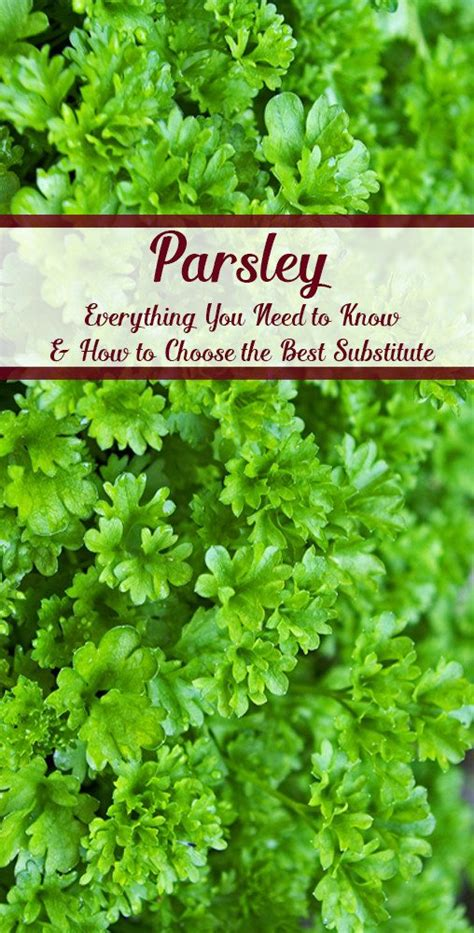 top 28 parsley substitute parsley dried substitutes ingredients equivalents what s the