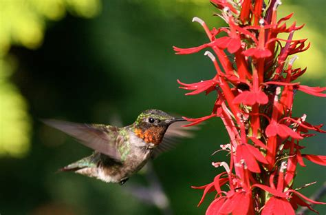 rubythroatedhummermaleatflowers jpg